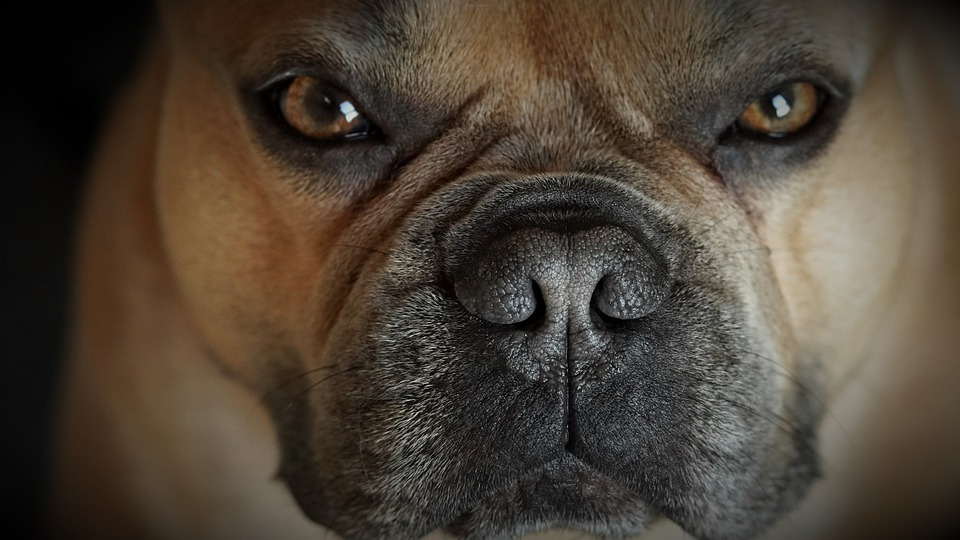 Zsömle, a francia bulldog